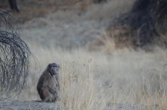contemplative baboob